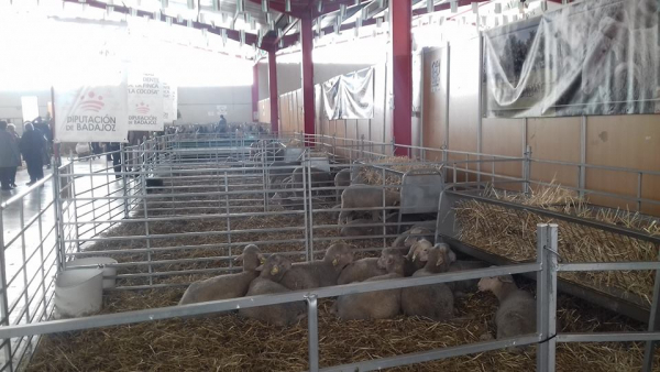 Éxito de Diputación de Badajoz en la subasta de ganado en la XX Feria de La Coronada