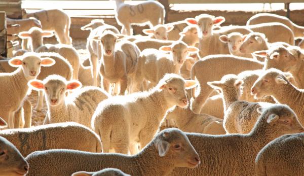 Diputación de Badajoz ha participado en la subasta de ganado de la X Feria Agroganadera y Multisectorial de Siruela