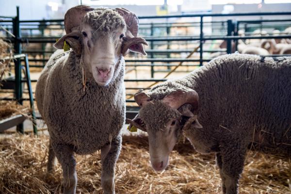 Diputación de Badajoz ha participado en la subasta de ovinos de raza merina de la XXXVI Feria Agroganadera de Trujillo