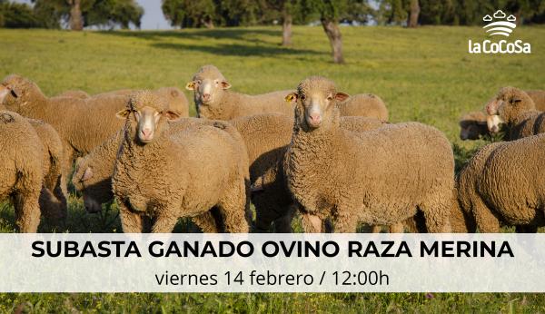 Diputación de Badajoz organiza una subasta de ganado ovino de raza merina  en la Finca La Cocosa