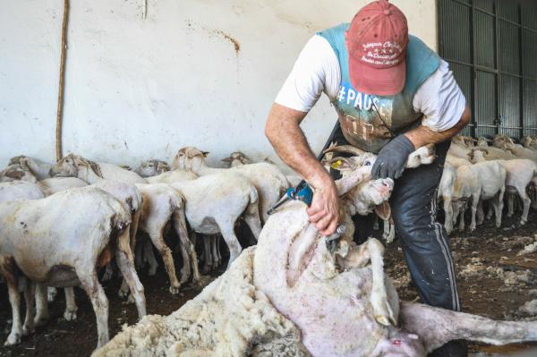 Esquiladores uruguayos llegan a la Finca La Cocosa de la Diputación de Badajoz