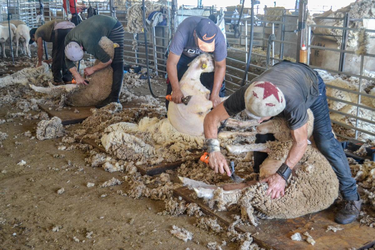 La temporada de esquila llega a la Finca La Cocosa de la Diputación de Badajoz