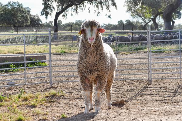 La Diputación de Badajoz participará en la subasta de ganado merino de la XI Feria Ganadera y Agroturística de la Siberia